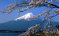 Cherry blossoms overlooking Mt. Fuji in Japan